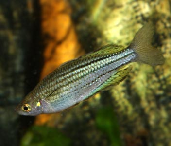 Mccullochs Rainbowfish - Skull Creek