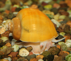 Mystery Snail - Gold (small)