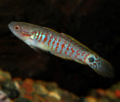 Gudgeon Peacock