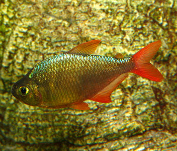 Red Blue Colombian Tetra