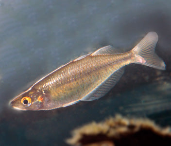 Red Eye Tiger Rainbowfish