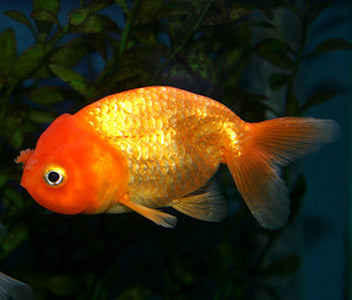 Ranchu Red
