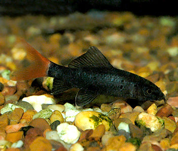 Shark Redtail Black