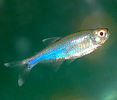 Blue King Tetra Special (6 for $16)