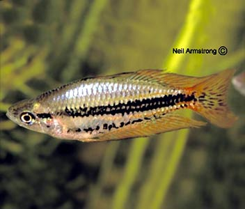 Western Rainbowfish - Drysdale R
