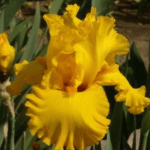 Iris Barbata 'Pure as Gold' - BulbiShop.it