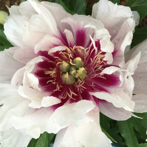 Paeonia 'Cora Louise' - BulbiShop.it