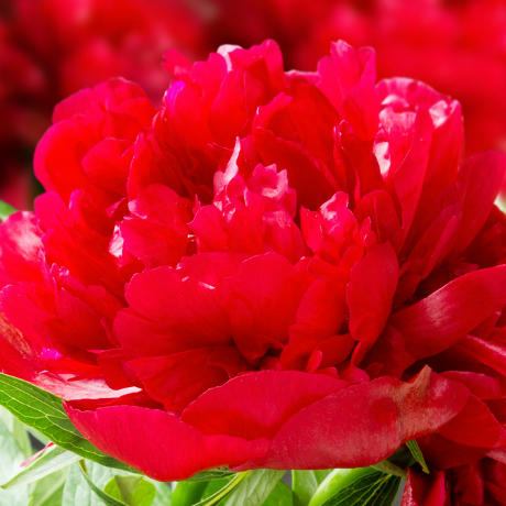 Paeonia 'Henry Bockstoce' - BulbiShop.it