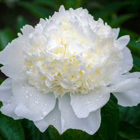 Paeonia lactiflora 'Charles White' - BulbiShop.it