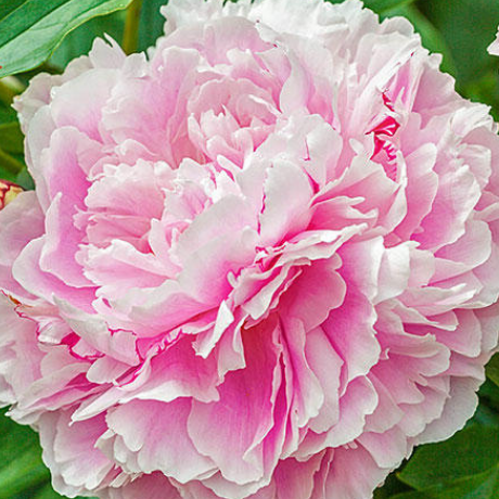 Paeonia 'Lady Alexandra Duff' - BulbiShop.it