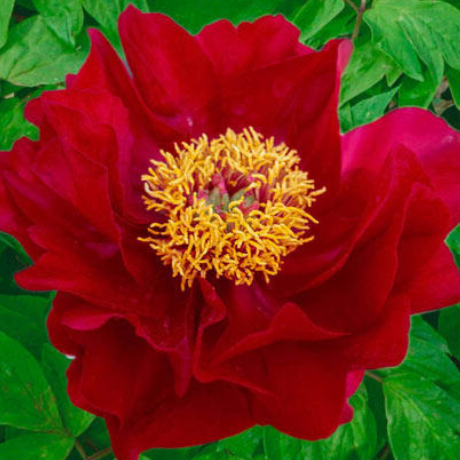Paeonia 'Mackinac Grand' - BulbiShop.it