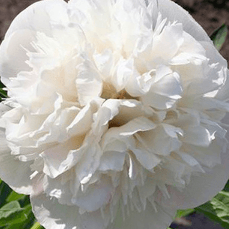 Paeonia officinalis 'Alba Plena' - BulbiShop.it