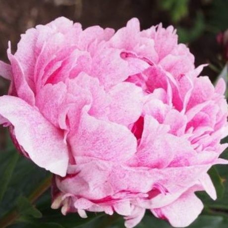 Paeonia 'Pietertje Vriend Wagenaar' - BulbiShop.it