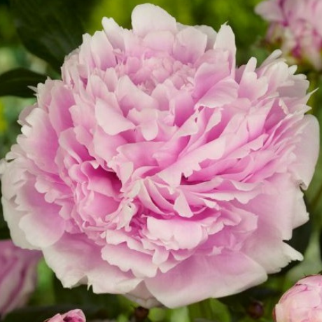 Paeonia 'Sarah Bernhardt' - BulbiShop.it