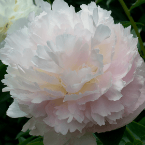 Paeonia 'Shirley Temple' - BulbiShop.it