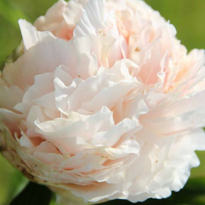 Paeonia 'Solange' - BulbiShop.it