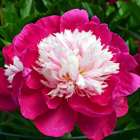 Paeonia 'White Cap' - BulbiShop.it