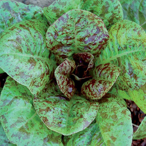 Seed Savers Exchange - Forellenschluss Lettuce