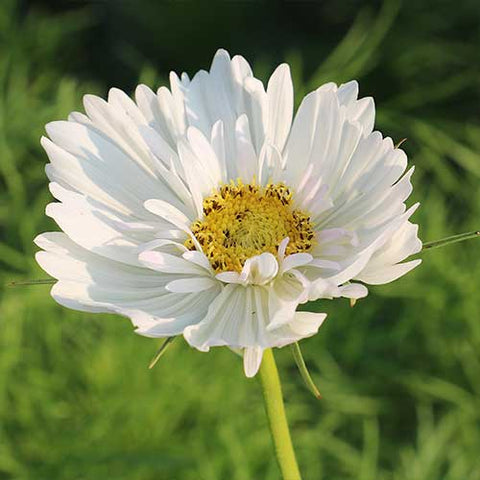 Seed Savers Exchange - Fizzy White Cosmos