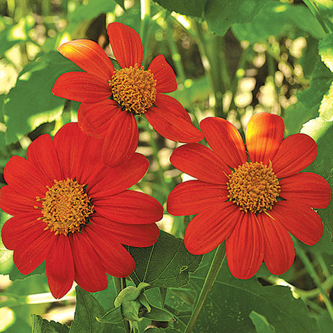 Seed Savers Exchange - Torch (Mexican) Sunflower