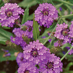 Seed Savers Exchange - Verbena