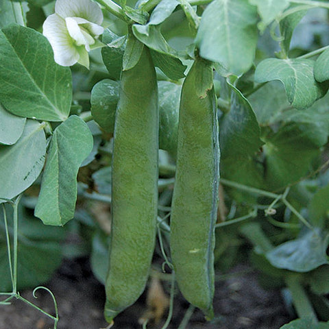 Seed Savers Exchange - Green Arrow Peas