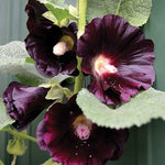 Seed Savers Exchange - Black Hollyhock