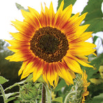 Seed Savers Exchange - Ring of Fire Sunflower