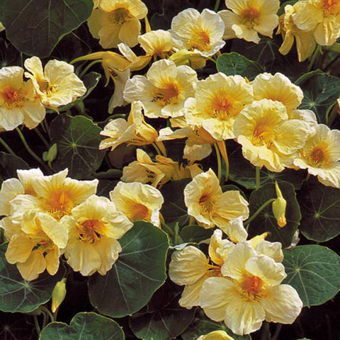 Seed Savers Exchange - Milkmaid Nasturtium