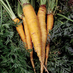 Seed Savers Exchange - Jaune du Doubs Carrot