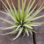 Collection of 3 Air Plants - Tillandsia