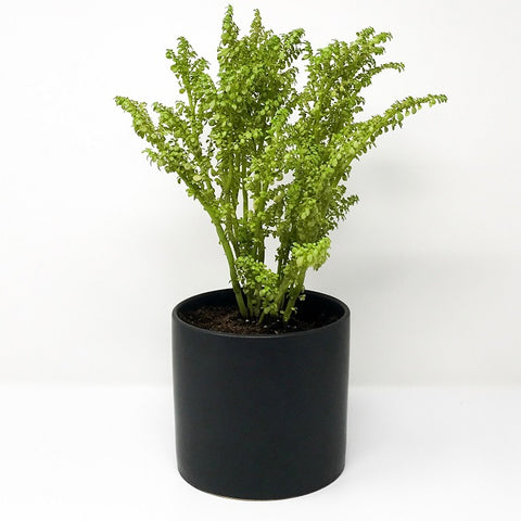Artillery Fern with 4'' Pot
