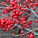 Red Winterberry Bundle - Large