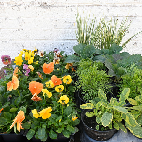 Spring Planter Combination - Warm Colors