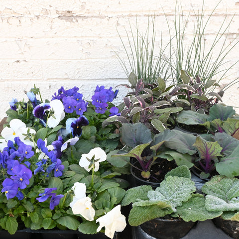 Spring Planter Combination - Cool Colors
