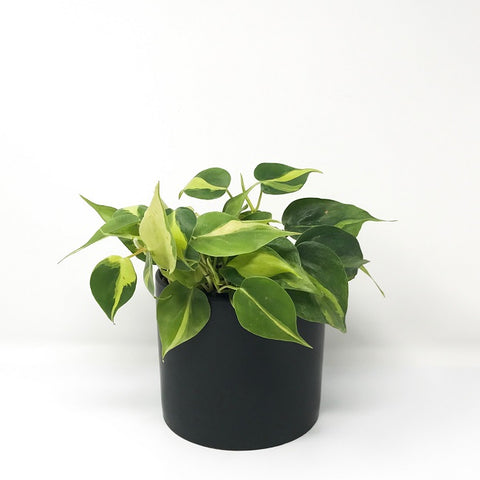 Heartleaf Philodendron 'Brasil' with 6'' Pot