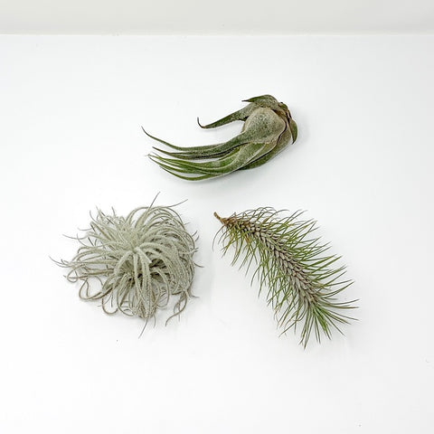 Premium Collection of 3 Air Plants