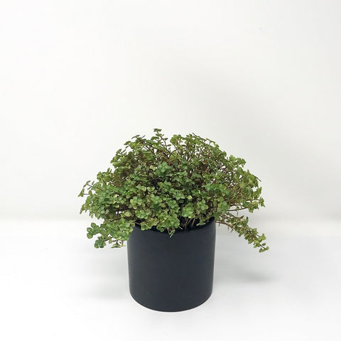 Red Stem Pilea with 4'' Pot
