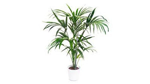 Plant of the Month January: Kentia Palm
