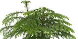 Important how to care guide Araucaria Heterophylla Norfolk Island Pine as a house plant in UK climate