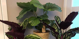 Are Calathea plants easy to grow?