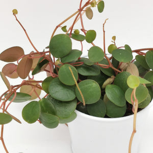 Peperomia Pepperspot Ruby Cascade - Cambridge Bee