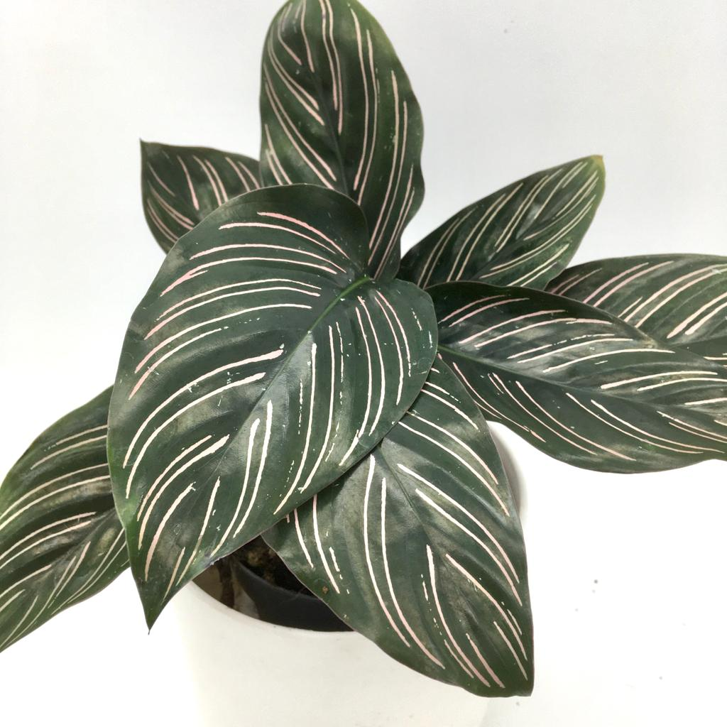 Calathea Ornata - Cambridge Bee