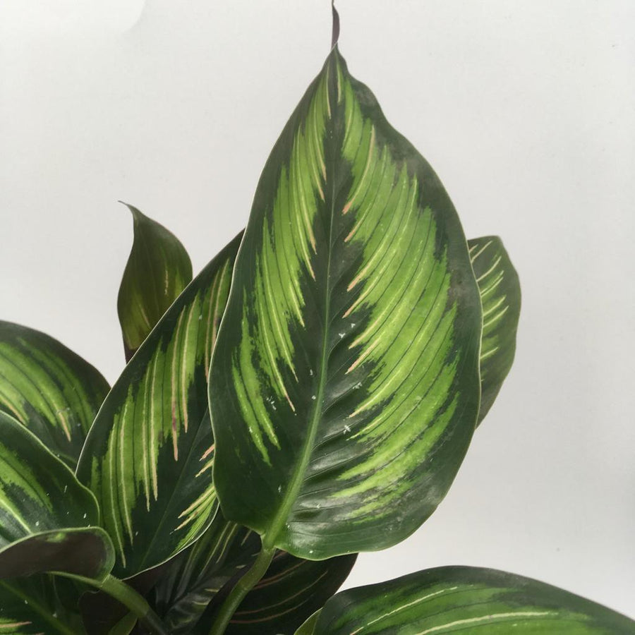 Calathea Beautystar - Cambridge Bee