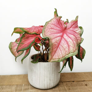 Caladium Florida Sweetheart - Cambridge Bee