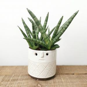 Sansevieria Sansiam Shabiki - Cambridge Bee