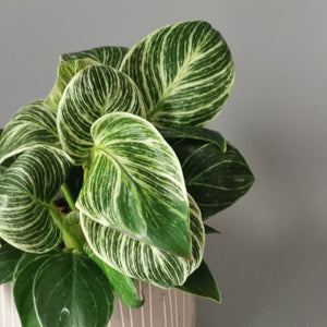Philodendron Birkin - Cambridge Bee