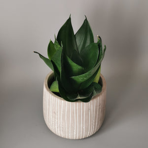 Sansevieria Black Dragon - Cambridge Bee
