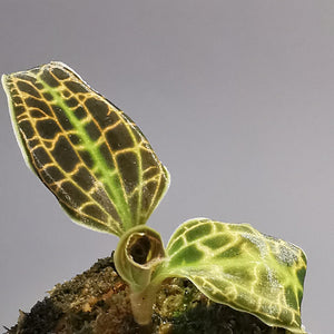 Jewel Orchid Macodes Sanderiana - Cambridge Bee