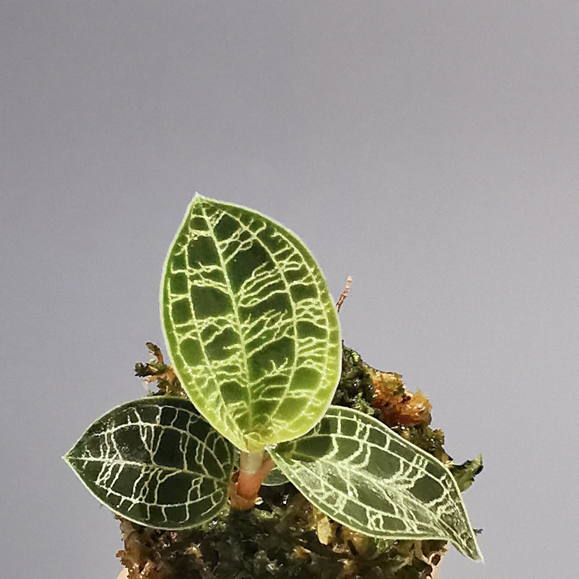 Macodes Petola Jewel Orchid - Cambridge Bee